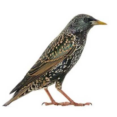 Starling-bird1
