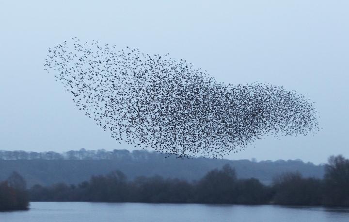 Starlings murm1