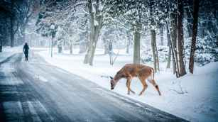 animal deer road snow
